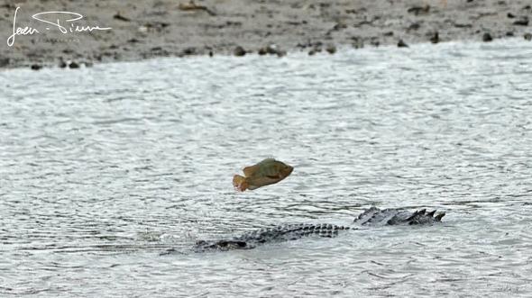 Crocodile encounter at Sungei Bulog Wetland Reserve
