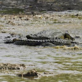 Battle of the crocodiles at Sungei Buloh Wetlands Reserve