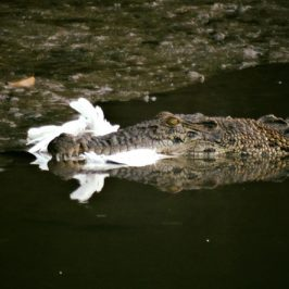 Estuarine Crocodile caught an egret at Sungei Buloh Wetland Reserve