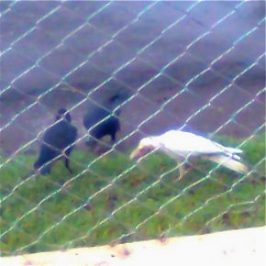 Albino crow from India