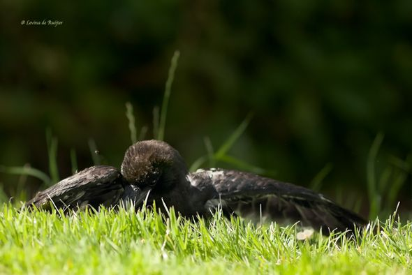 Crow lying on an anthill (Photo credit: Levina de Ruijter)