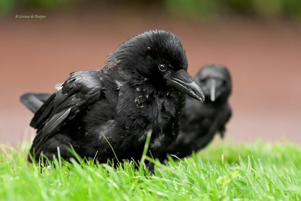 Crow anting with ants (Photo credit: Levina de Ruijter]