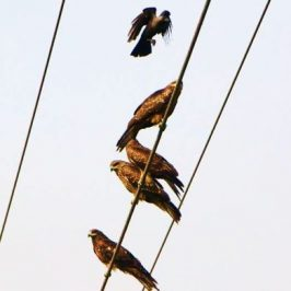 Crows harassing Black Kites
