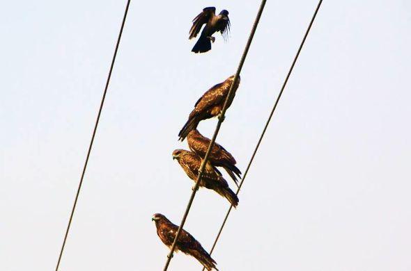 Crows harassing Black Kites