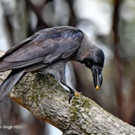 House Crow – with prey and nesting material