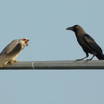 Pellets from Tuas: 5. Black-shouldered Kites and House Crows