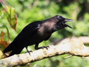 House Crows and juveniles of Asian Koel