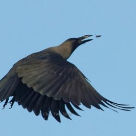 House Crow catching an insect on the wing
