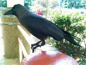 An extremely tame House Crow
