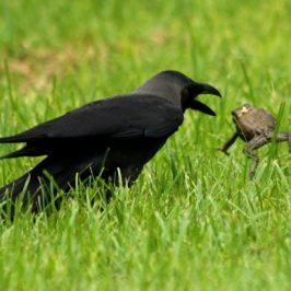 House Crow handling a toad