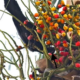 Large-billed Crow takes ceram palm fruit