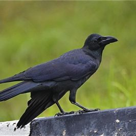 Large-billed Crow – sex differentiation