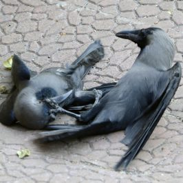 Fighting pair of House Crows