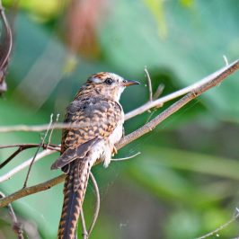 Plaintive Cuckoo – hepatic morph
