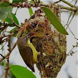 A cuckoo chick in a Golden-bellied Gerygone's nest