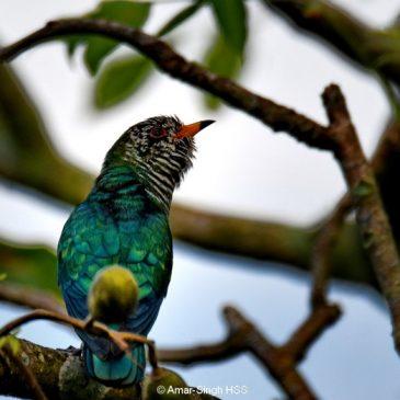 Asian Emerald Cuckoo – immature males feeding on caterpillars