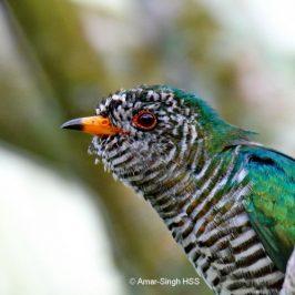 Asian Emerald Cuckoo – immature males