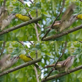 Common Iora feeding Banded-bay Cuckoo fledgling