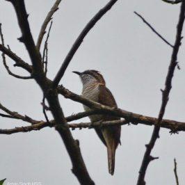 Banded Bay Cuckoo – calls