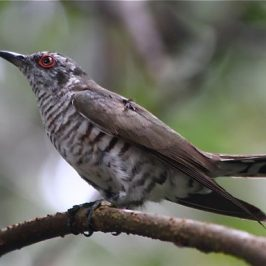Little Bronze Cuckoo in Courtship Feeding