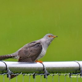 Eurasian or Common Cuckoo <em>Cuculus canorus canorus</em>