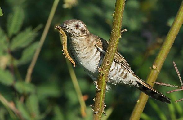 Horsfield's Bronze Cuckoo eating caterpillar