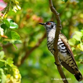 Little Bronze Cuckoo – male foraging