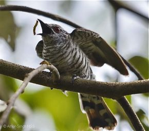 The adult male Little Bronze Cuckoo