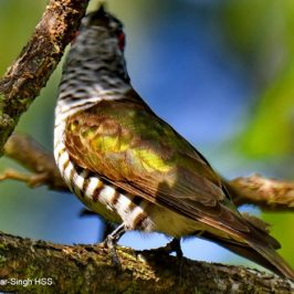Male Little Bronze Cuckoo calling