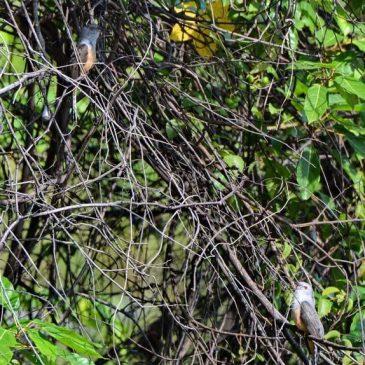 Plaintive Cuckoo: 1. Possible courtship behaviour