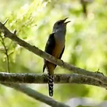 Call of the Plaintive Cuckoo