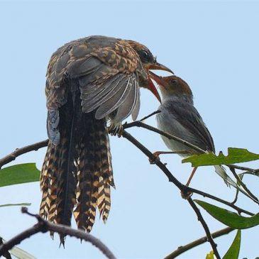 Ashy Tailorbird feeding a large Plaintive Cuckoo fledgling