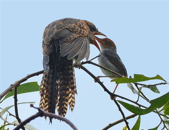 Ashy Tailorbird feeding a large Plaintive Cuckoo fledgling
