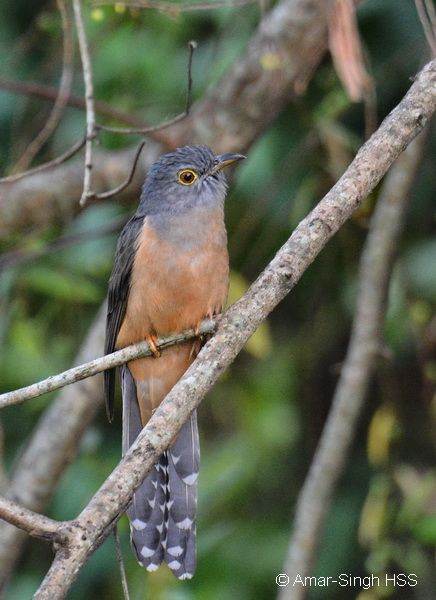 Encounter with Rusty-breasted Cuckoo and Hodgson's Hawk Cuckoo