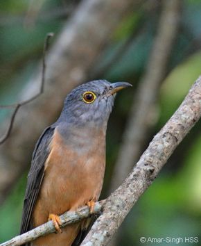 Encounter with Rusty-breasted Cuckoo and Hodgson's Hawk Cuckoo