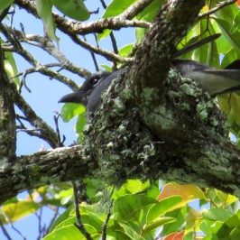 MALAYSIAN CUCKOO-SHRIKE – NEST CONSTRUCTION