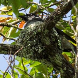 MALAYSIAN CUCKOO-SHRIKE – FEEDING CHICK