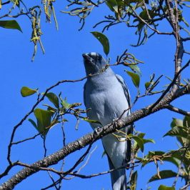 Large Cuckooshrike – issues with plumage and subspecies