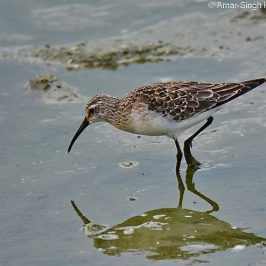 Curlew Sandpiper – feeding behaviour