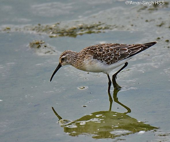 Curlew Sandpiper - feeding behaviour