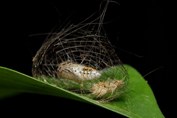 Parasitic fly emerged from cocoon of footman moth