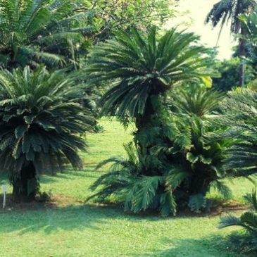 The Cycad Blue and its nectarine plant, the Sweet Basil