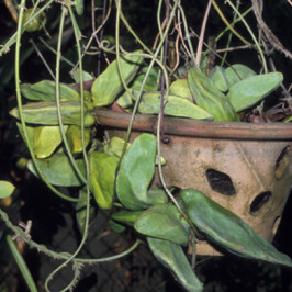 Plant defences against leaf-eating insects and birds