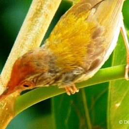 © Nesting Common Tailorbirds- One Full Circle Part 4