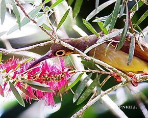 © Go Nectarivore With Wild Birds at Sepilok -  N. Borneo