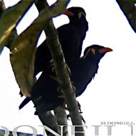 © An Encounter With Common Hill Mynas Part 2