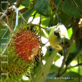 ©FRUITY RAMBUTANS AND BROWN-THROATED SUNBIRD