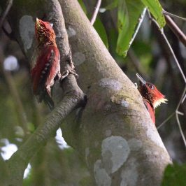 Calls and behaviour of the Banded Woodpecker