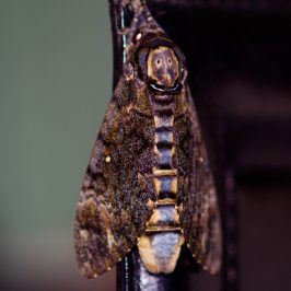 Death's Head Hawk Moth – pupa development