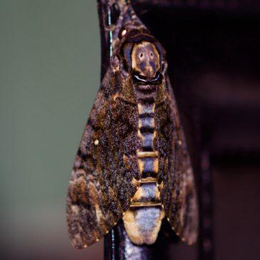 Death's Head Hawk Moth – pupa development
